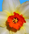 Free Daffodil - Close-up Photo Stock Images - 2269624