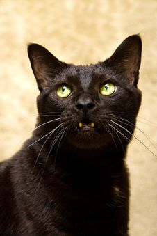 Free Black Cat Looking Aggressive Stock Photos - 2260993