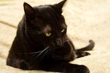 Black Cat Cleaning His Paw Royalty Free Stock Images