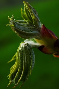 Free Chestnut Stock Image - 2261051
