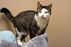 Free Tabby With White, Distracted Stock Photos - 2261113