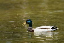 Duck On The Lake Royalty Free Stock Images