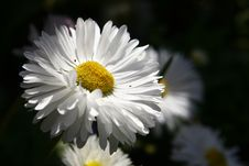 Free Daisy In Shadow Stock Images - 2261554