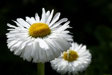 Free Daisy Macro Royalty Free Stock Photos - 2261568