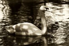 Free Swan In Sepia Royalty Free Stock Photo - 2261655