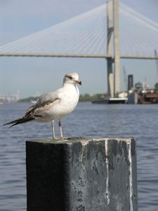 Free Seagull & Bridge 4 Royalty Free Stock Photo - 2261775