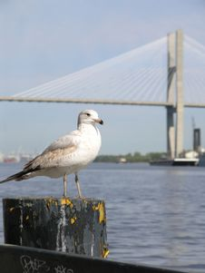 Free Seagull & Bridge 7 Royalty Free Stock Photography - 2261787