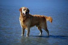 Free Golden Retriever Stock Image - 2262091