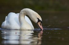 Free Beautiful Swan Royalty Free Stock Photos - 2262188