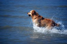Free Golden Retriever Stock Image - 2263261