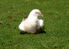 Resting White Dove Stock Images