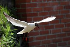 Free Seagull Stock Photography - 2263632