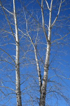 Free Aspen Trees In Spring Stock Images - 2264244