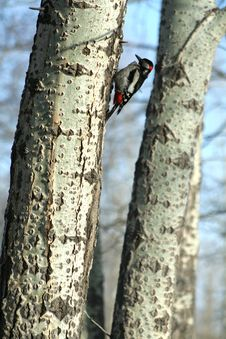 Free Woodpecker Royalty Free Stock Image - 2264706