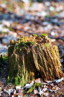 Free Old Stump Royalty Free Stock Photography - 2264717