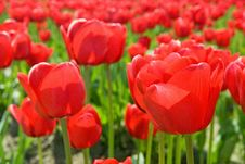 Free Red Tulips Stock Images - 2264944