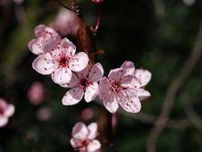 Free Prune Blossom Stock Image - 2265191