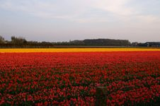 Free Dutch Village And Tulip Fields Stock Images - 2265284