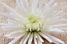 Free Chrysanthemum On Sacking Royalty Free Stock Photo - 2265365