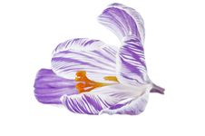 Free Crocus Royalty Free Stock Images - 2265389