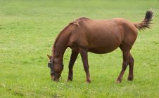 Free Grazing Horse Royalty Free Stock Images - 2266559