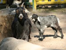 Free Goats Stock Photography - 2267432