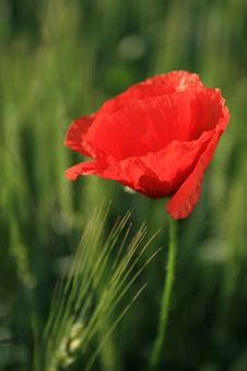 Free Red Poppy Flower Royalty Free Stock Photos - 2268678