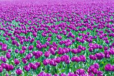 Free Purple Tulips Stock Photos - 2268913