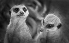 Free Two Meerkats Standing Stock Images - 2269084