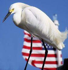 Free American Egret Stock Image - 2269201