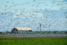 Free Snow Geese Flock Royalty Free Stock Images - 2269309