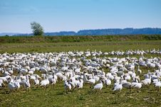 Free Snow Geese Flock Royalty Free Stock Images - 2269459