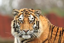 Free Watchful Tiger Stock Images - 2269514