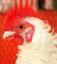Free White Roosters Head Stock Photo - 22609990