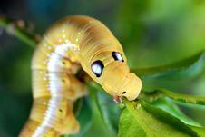 Caterpillar Eating Leaf Royalty Free Stock Photos