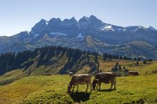 Free Cows In Alpine Meadows Stock Image - 22609271