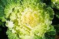 Free Cabbage White Royalty Free Stock Photos - 22617438
