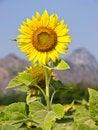 Free Sunflower Stock Photography - 22619992