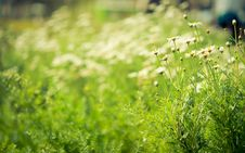 Free Daisies White Flower Unfocus With Nature Light Stock Photo - 22611570