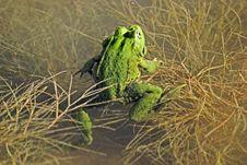 Free Green Frog Stock Photo - 22615490