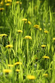 Dandelions, Close-up Royalty Free Stock Photos