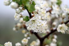 Free Flowering Tree With Drops Of Dew Royalty Free Stock Photography - 22616377