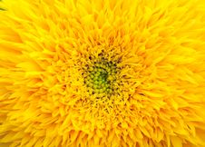 Free Yellow Sunflower Petals Closeup  In The Field Stock Image - 22616551