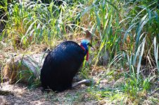 Free Cassowaries  Bird Royalty Free Stock Images - 22617449