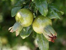 Free Pomegranate Royalty Free Stock Photo - 22617885