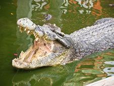 Free Crocodile Royalty Free Stock Image - 22619696