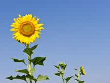 Free Sunflower Stock Photo - 22619740
