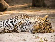 Free Leopard Royalty Free Stock Photo - 22619785