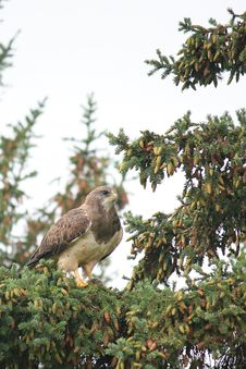A Swainson S Hawk Royalty Free Stock Images