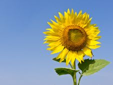 Free Sunflower Stock Images - 22619914